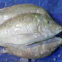 Frozen Emperor Fishes