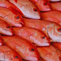 Frozen Red Fishes