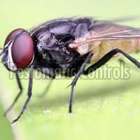 Housefly On A Leaf Crop