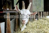 Probiotic Goat & Sheep Feed Supplement