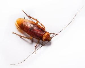 Cockroach Control Treatment Service 01