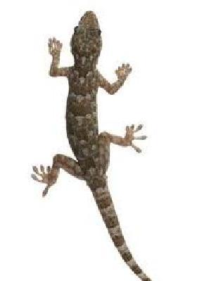 Lizard Control Treatment Service 02