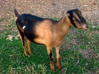 Amancha Breeds of Goat