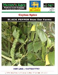 Black Pepper 02
