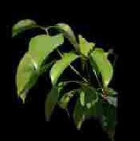 Ceylon Cinnamon Oil 04