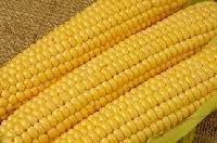 Yellow Maize