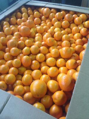 Valencia Orange 16