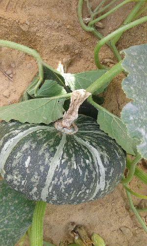 Pumpkin 07