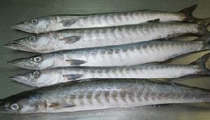 Frozen Barracuda Fish