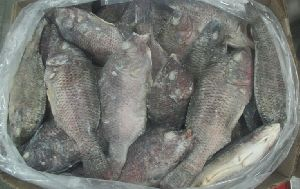 Frozen Tilapia Whole Fish