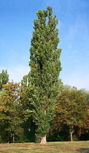 Poplar Wood Plant