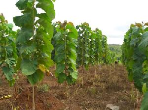 Sagwan Wood Plant