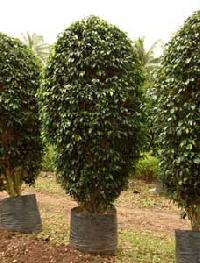 Ficus Black Plants