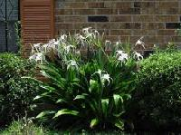 Hymenocallis Littoralis Plants