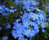 Plumbago Capensis Plants