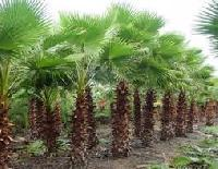 Washingtonia Filifera Plants