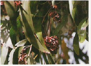 Acacia Auriculiformis Seed 01
