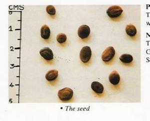 Albizzia Odoratissima Seed 02