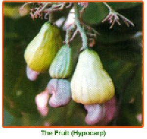 Anacardium Occidentale Seed 01