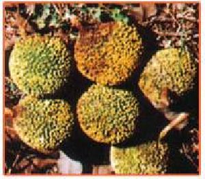 Anthocephalus Cadamba Plant