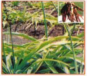 Chlorophytum Tuberosum Plant