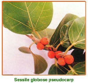 Ficus Benghalensis Seed 01
