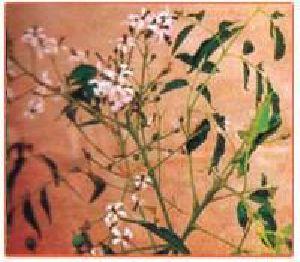 Melia Azedarach Plant