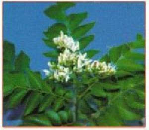 Murraya Koenigii Plant