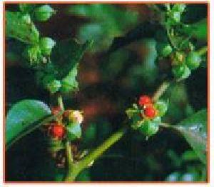 Withania Somnifera Plant