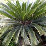 Cycad Plants