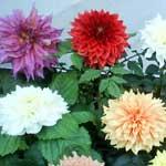 Dahlia Plants