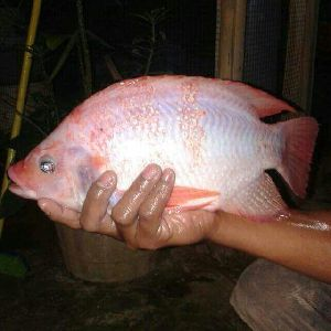 Red Tilapia  Fish Seeds