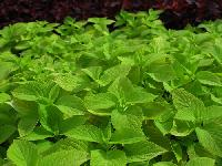 Coleus Plant   For Healthy Life