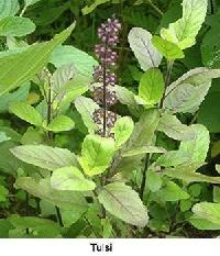Herbal Holy Basil Dry Leaves
