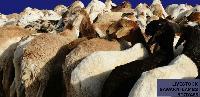 Live Sawakni Lambs 03