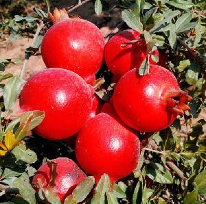 Dadam Plant