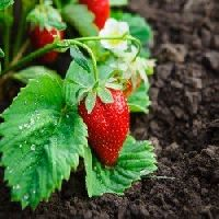 Alpine strawberries seeds