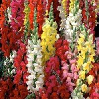 Antirrhinum Dog flower Tomb Thumb mix seeds
