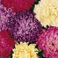 Aster duchess Formula Mix Seeds