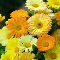 Calendula Dwarf Mix seeds