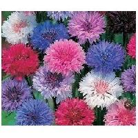 Centaurea Dwarf Mix Seeds