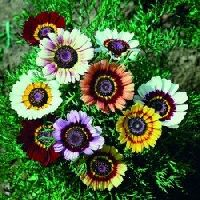 Chrysanthemum Carinatum mix seeds
