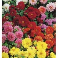 Dahlia Double Figaro mixed Seeds