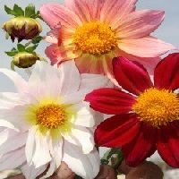 Dahlia Top Star Beauty Mix Seeds