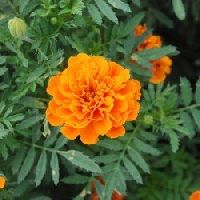 French Marigold orange seeds