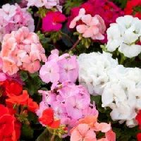 Geranium Colorama mix seeds