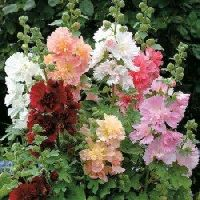 Hollyhocks Double Dwarf mix seeds