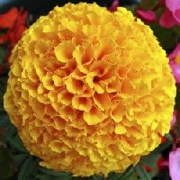 Marigold F2 Dwarf Orange seeds