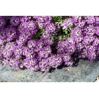 Pan American Alyssum seeds