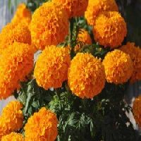 Pan American Marigold Taishan Orange seeds